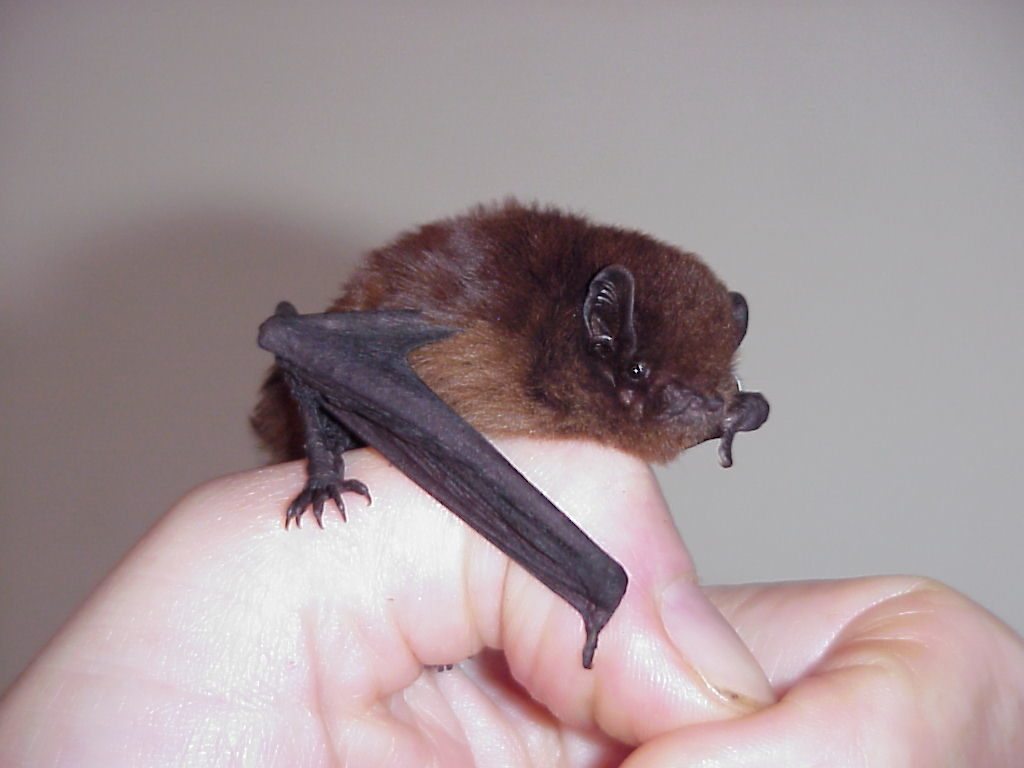 Credit Colin O'Donnell. New Zealand's long tailed bats are believed to produce only one offspring pup each year.