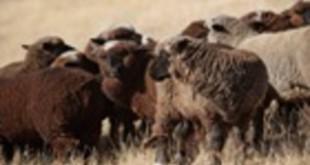 10238-Merino_Sheep