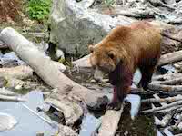 10822-Alaskabear