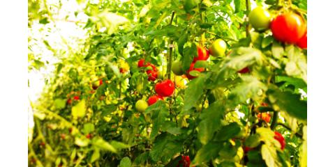 1366-grow_tomatoes
