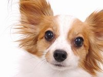 1504 papillion dog resize