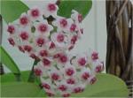 Wellington Hoya & Epiphytic Plant Society