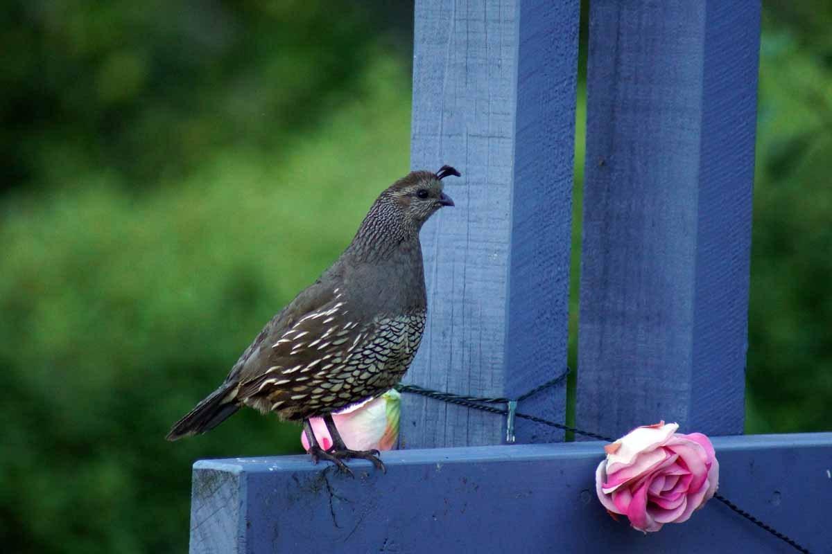 2-quails-in-garden-DSC02997