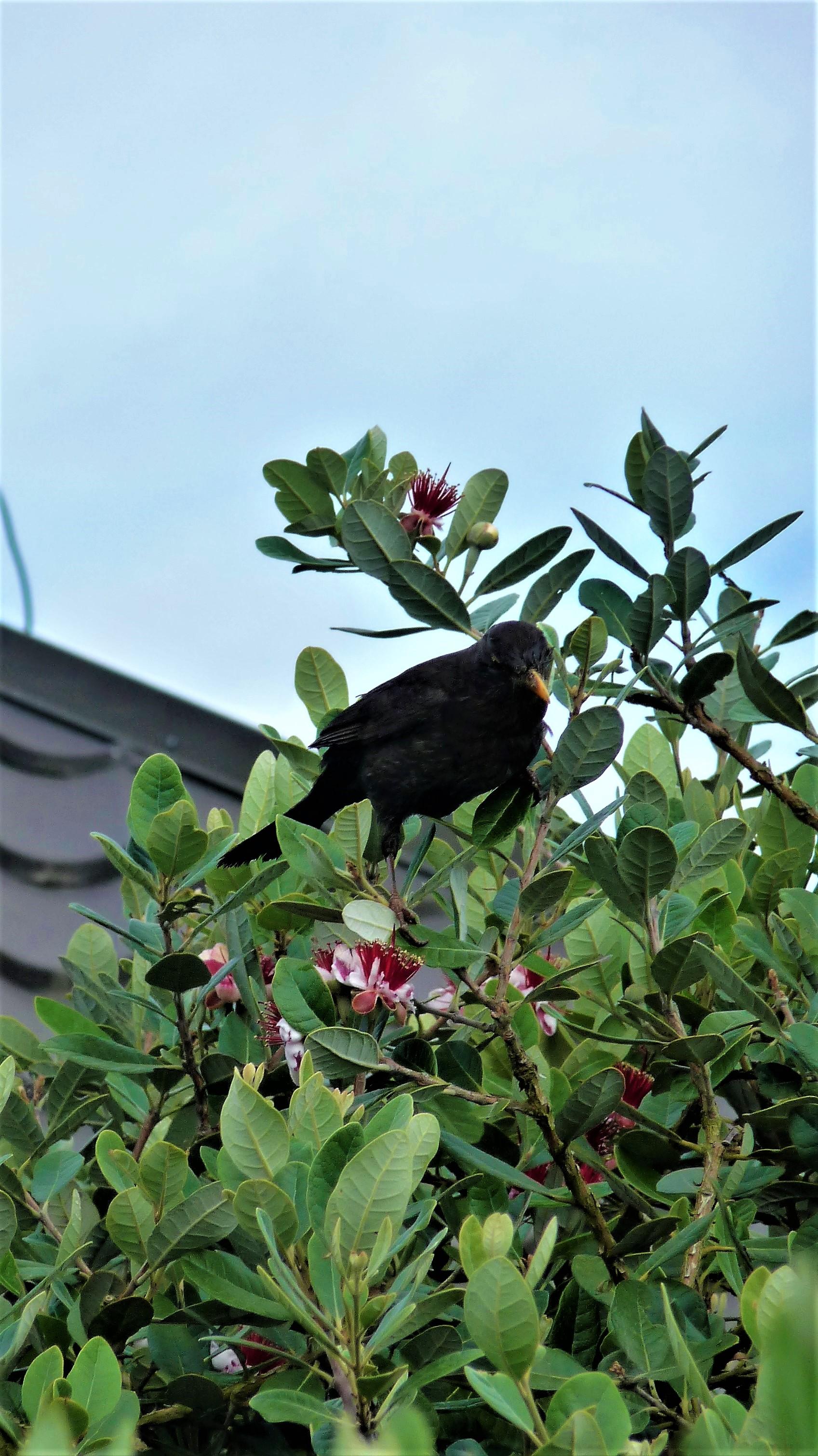 2017-dec-bird-feijoa-2017