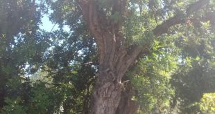 Carob trees tolerate drought conditions once they are established