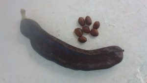 Mature carob pods and seeds
