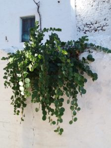 In their Mediterranean home, caper seeds often germinate in cracks in dry walls