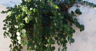 In their Mediterranean home, caper seeds often germinate in cracks in dry walls