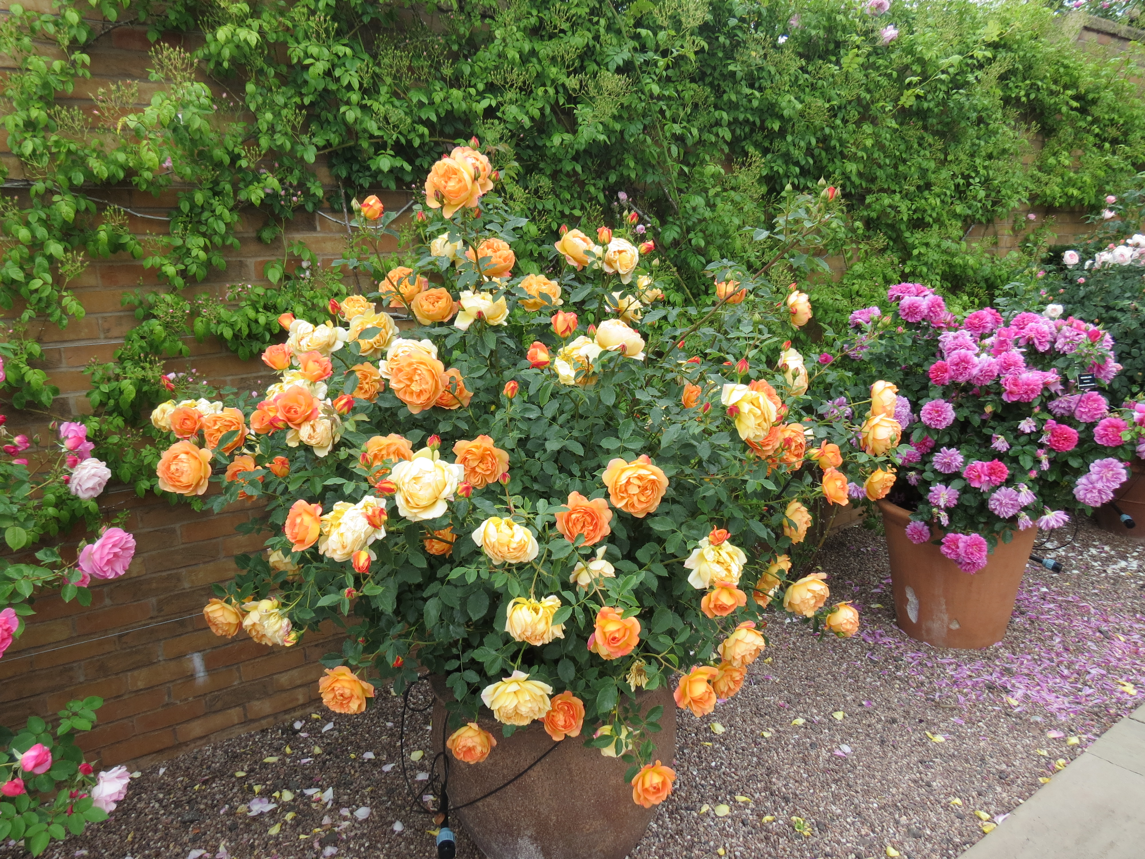 Growing Roses In Pots Grownups New