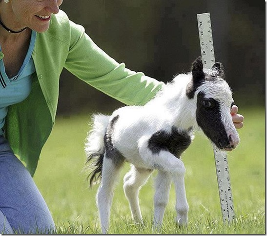 Einstein-The-Worlds-Smallest-Horse.