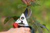 pruning rose with secateurs, closeup