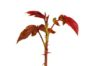 New multicoloured leaf growth on a rose bush with a white background.jpg