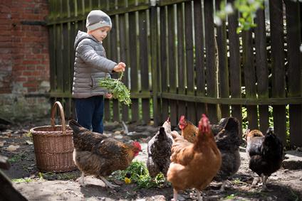 Boy feeding hens in the yard