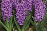 To chill, or not to chill Spring bulbs?