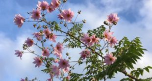 Tree dahlias