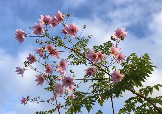 Tree dahlias