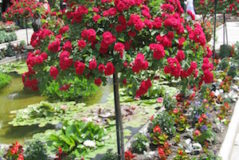 landscaping-with-rosebush