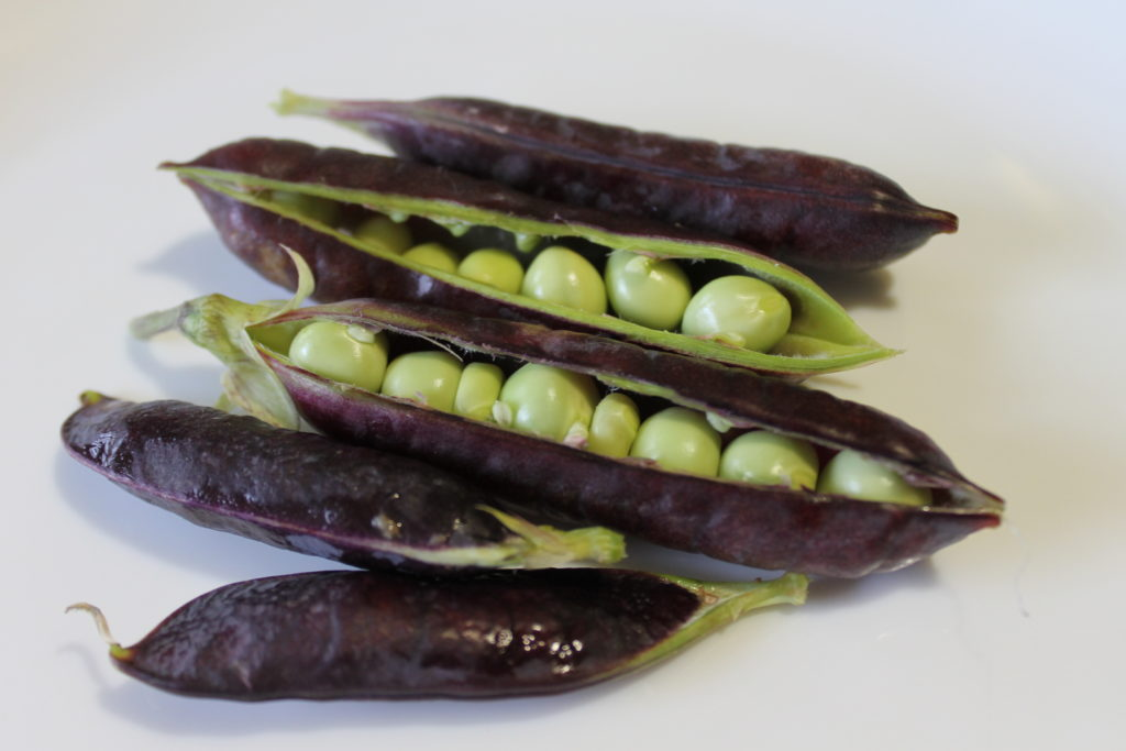 Purple podded pea