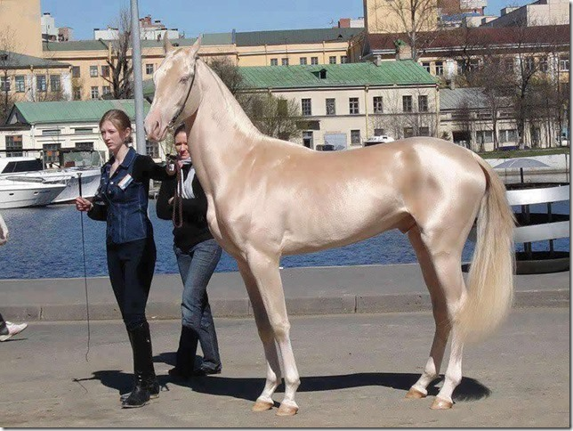 This-horse-breed-Akhal-Teke-from-Turkmenistan-was-announced-the-most