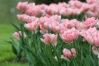tulip-foxtrot