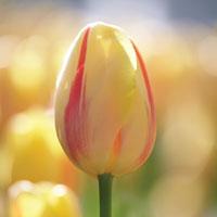 Tulipa Camargue