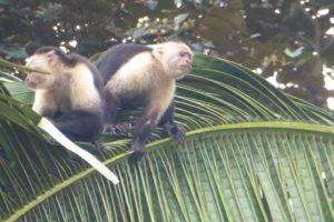 White throated capuchins