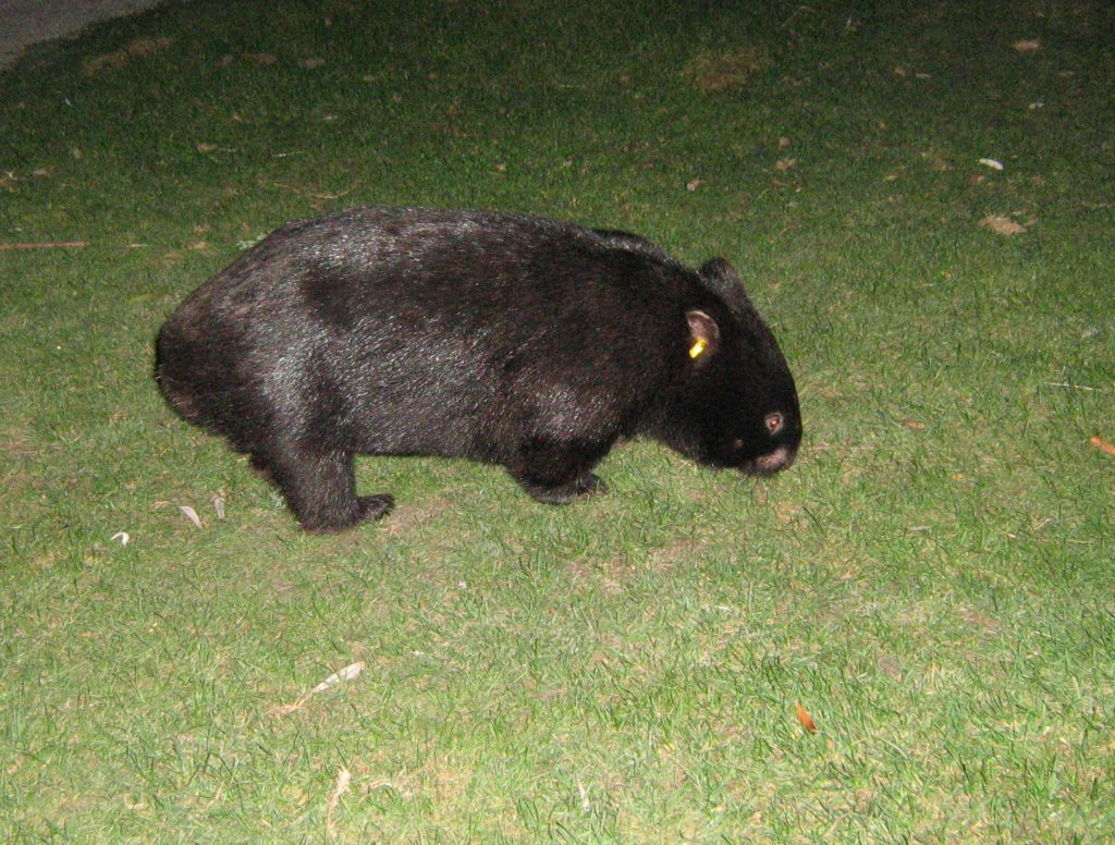Wombats are frequent visitors to the park camp grounds.