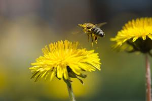 bee in flower blossoming dandelion