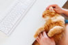 Happy cute ginger cat lying on the desk next to the keyboard. Man strokes smiling pet. Cozy morning at home.