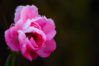 frozen-rose-2-1349194