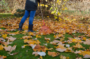 worker raking neatly with red garden rake autumn dry tuliptree leaves in garden