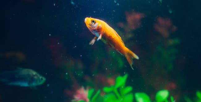 Goldfish dating agency