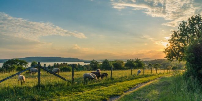 lake-constance-sheep-pasture-sheep-blue-158179