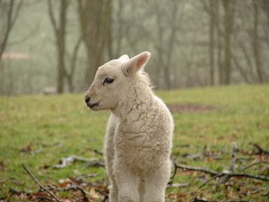 Lamb in the rain