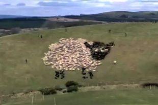LED Sheep