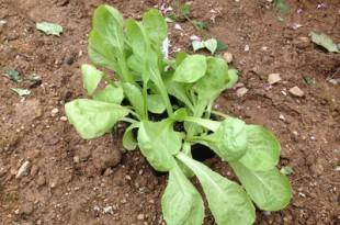 plants de salade,plantation au potager