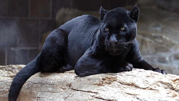 panther.jpg.hashed.8e8cec24.desktop.story .inline