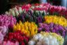 tulips, bulbs