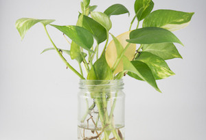 Golden pothos in glass bottle and white background