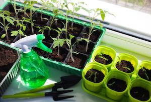 Vegetable seedlings in pots indoor