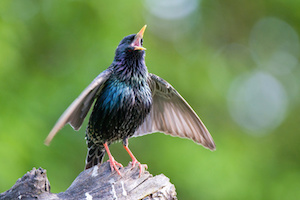 Common starling singing