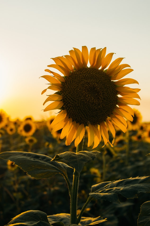 sunfloer