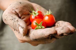 Fresh tomatoes holding by hand