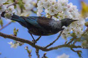 Tui in Cherry Tree