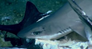 video shark swallowed whole duri