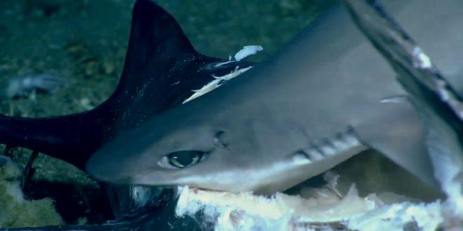 video shark swallowed whole duri