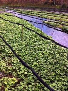 wasabi farm 2