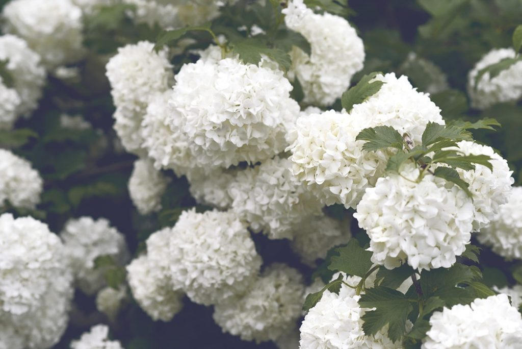 Here S How To Turn Hydrangeas From Ho Hum A Stand Out Feature In Your Home And Garden